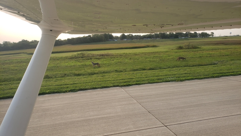 2 Coyotes Standing By Airport Taxiway